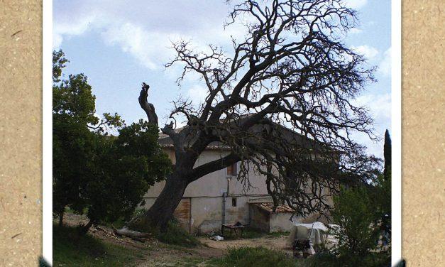Carrasca de La Zurca de La Torre de les Maçanes