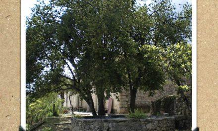 Llorer de Villa María de La Torre de les Maçanes