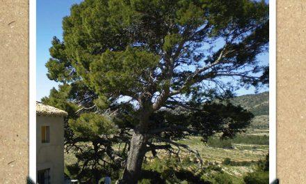 Pi del Mas de Pipa de La Torre de les Maçanes