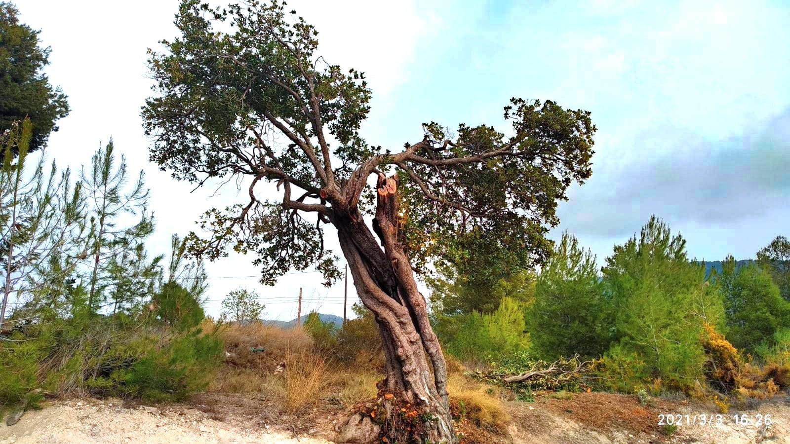 Neteja de branques seques i verdancs de l'arboç del Cipreret